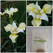 Iris sibirica x  'Dreaming Yellow' Siberian Iris X 15 SEEDS Fresh 2016