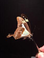 Entomologie Papillon Butterfly Insecte Superbe Papilio phorcas A1!!