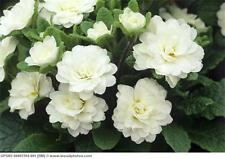 100+ Primrose /Primula / Pure White/ Flower Seeds  / Reseeding Annual