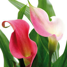 Hot New Popular 100PCS Bonsai Colorful Calla Lily Seeds Rare Plants Flowers ID88