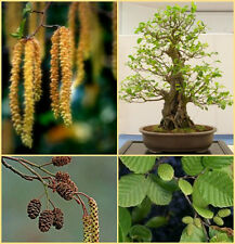 Alnus glutinosa, black alder seed suitable for Bonsai tree growing