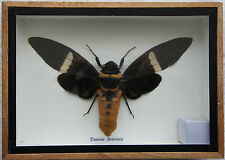 CICADA INSECT - TOSENA FASCIATA - SPREAD WINGED DISPLAY BOX - GENUINE SPECIMEN