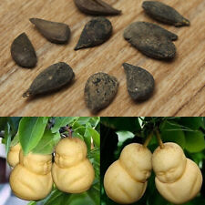 20pcs Rare Chinese Baby Ginseng Fruit Perennial Seeds Pear Tree Sapodilla