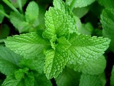 Herb Seed PEPPERMINT - Mint Mentha Peperita Herb Flower Seeds - Pack of 40 Seeds