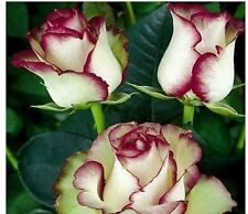 FIRE AND ICE ROSE SEEDS X 10 SEEDS