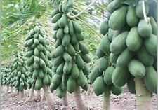 PAPAYA SEEDS - Hybrid Seed - approx 100 seeds.