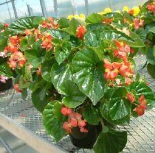 200 Begonia Seeds Higro Red Pelleted Seeds BULK SEEDS