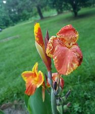 King Humbert Canna Lily Yellow With Orange Specks Dots