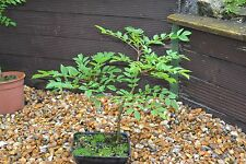 Hawthorn, Alder,Silver birch & Mountain Ash. All Good  For Bonsai Cultivation