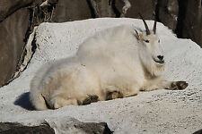 SALE - Mountain Goat Taxidermy Reference Photo Cd