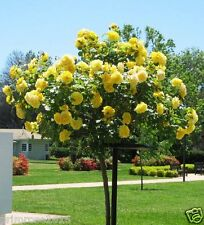 10 Yellow Rose tree Seeds, DIY Home Garden Potted ,Balcony & Yard Flower Seeds