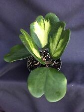 """HOYA KERRII 'Picta' VARIEGATED, ROOTED PLANT SHIPPED IN  A  4"""" POT!"""