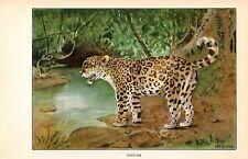 """1926 Vintage ANIMALS """"JAGUAR"""" GORGEOUS COLOR Art Print Plate Lithograph"""
