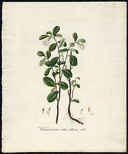 Antique Print-VACCINIUM VITIS IDAEA-LINGONBERRY-Sepp-Flora Batava-1800