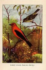 "1926 Vintage TODHUNTER BIRDS ""SCARLET TANAGER"" STUNNING 90 YEARS OLD Lithograph"