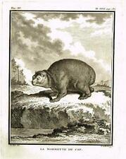 "De Seve's Animals (Buffon) - ""LA MARMOTTE DU CAP"" - Copper Engraving - 1760"