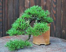 Bonsai seed - Mugo Pine, Pinus mugo Montana - Pack of 5 seeds
