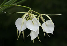 Brassavola Orchid species healthy hybrid plant on a peice of bark