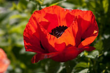 1000 Red TURKISH POPPY Heirloom Papaver Somniferum Flower Seeds *Combined Ship