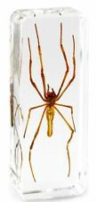 Real Long-jawed Orb Weaver Spider Insect Paperweight Specimen - Large Block