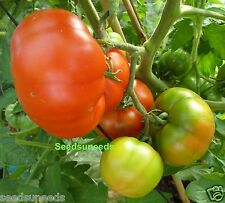 Super Marmande Tomato Seeds  Heirloom    Wonderful Flavour
