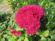 300 Plus Red Crested Celosia Cockscomb Seed, 2016 Crop, Free Shipping
