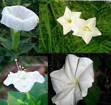 Night Garden #1 Fragrant White Flowers-4 packs/price 3!