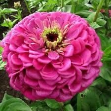NEW! 35+ BENARY'S GIANT PINK ZINNIA FLOWER SEEDS / LONG LASTING CUT FLOWERS