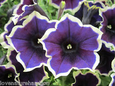 PICOTEE PETUNIA Large Blue Flowers Edged White Planters Hanging Baskets 30 Seeds