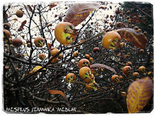 "Durillo Germanica ""Medlar' 10 + Semillas!"
