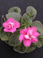 African Violet Plant- Ode to Beauty