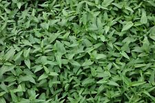 50 Seeds Hot Rau Muong,Morning Glory,Ong Choy-River Spinach,Water Morning Glory