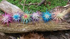 12 Tillandsia Ionantha ~ Rainbow Sampler  Air Plant Colorized  Live Event Resell