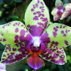 100x Neu Rare Lila Grün Orchideen Samen Blumen Seeds