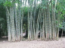 5 Nos. Bare root Asper fully hardened Plant (Giant Bamboo - Dendrocalamus asper)