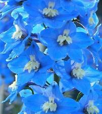 Blue Delphinium 150 Seeds Large Long Blooming Spikes of Blue Flowers