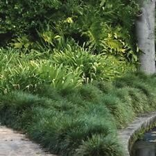 6 x TALL MONDO GRASS Ophiopogon japonicas ornamental border plants in 75mm pots