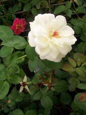 Sugar Moon White Roses 2 Gal. Live Plant Double Flower Fragrant Rose Bush Garden