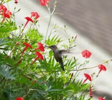Cardinal Climber 20 Seeds Beautiful Red Climbing Vine Attract Hummingbirds!