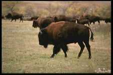 485004 Nearly 2000 Buffalo Are Corralled During Roundup A4 Photo Print