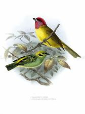 PAINTING BOOK PAGE BIRD KEULMANS YELLOW RED HEADED TANAGER ART PRINT LAH586A