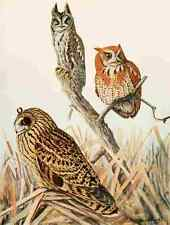 A4 Photo Fuertes 1923 Screech & Short eared Owls Print Poster