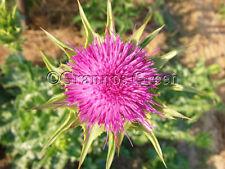 Silybum marianum - milk thistle - 50 seeds - medicinal plant - liver repair
