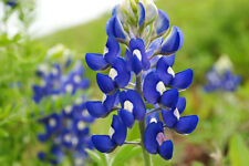 150 TEXAS BLUEBONNET LUPINE Blue Lupinus Flower Seeds