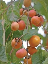 1 American Persimmon Trees, Great Fruit