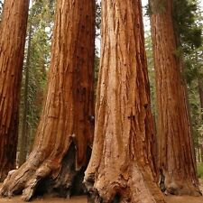 Giant Sequoia Tree Seeds (Sequoiadendron giganteum) 25+Seeds
