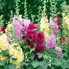 Hollyhock Summer Carnival Seeds Easy Care Large Pink Flower Drought Tolerant