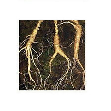 200 PCS Korea Wild Ginseng Vegetable Herb Seed Korea Panax  Seeds Sansam Insam