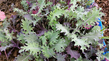 Certified Organic Red Russian Kale Seed (300ct) 2017