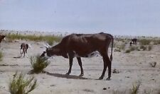Experimental Cattle, Jornada Range Reserve, New Mexico,Magic Lantern Glass Slide